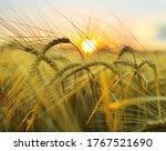 Golden Wheat Spikes On Summer...