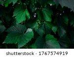 Grape Green Leaves Closeup...