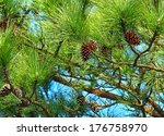 Pine Tree And Pine Cone