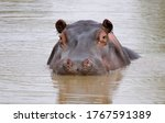 Hippo Floating Under Water In...