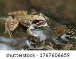 Common Brown Frog Or European...