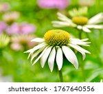 A Beautiful White Coneflower O...