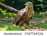 Beautiful white tailed eagle...