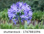 Blue Agapanthus  African Lily ...
