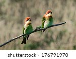 a couple bay headed bee eater ... | Shutterstock . vector #176791970