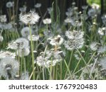 Many White Dandelion Balls...