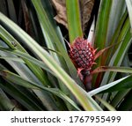 Small Pineapple Fruit Red In...