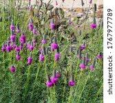 Dalea Purpurea  Purple Prairie...
