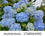 Beautiful Hydrangea Flowers In...