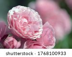 Pink Peony Roses In Summer...