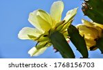 Yellow Cactus Flowers In The...