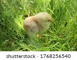 Little Yellow Chicken In Tall...