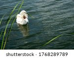 The Swan Hid His Head Under Th...