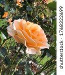 Small photo of Orange rose in Pollard Park, New Zealand April 27, 2019