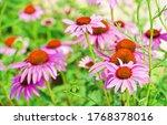 Bright Pink Echinacea Flowers...
