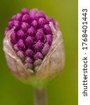 Allium Bud Opening On Blurred...