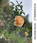 Small photo of An orange rose in Pollard Park, New Zealand April 27 2019