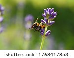 Gymnosoma Rotundatum  Mating O...