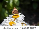 Close Up Of A Common Buckeye...