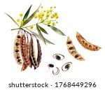 Australian Spice Acacia...