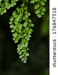 Small photo of Closeup to a Black Maidenhair fern (Adiantum capillus-veneris)