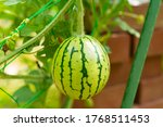 Young Watermelon Is Growing In...
