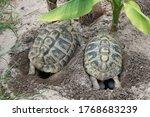 Two Testudo Hermanni Turtles...