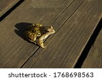 Water Frog Sitting On The...