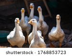 White Domestic Geese Walking...