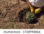 Planting Lavender For Garden...