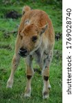 Bison calf is large, even-toed ungulates in the genus Bison within the subfamily Bovinae.