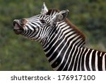Zebra With It's Lip Curled Bac...