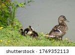 Female Mallard Duck With Her...