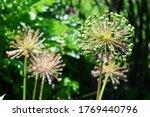 Garlic Flower Heads Blooming In ...