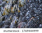 Colony Of Mussels On A Rock...