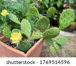 Eastern Prickly Pear   Opuntia...