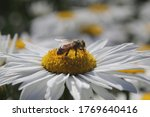 Honey Bee Taking Pollens Out Of ...