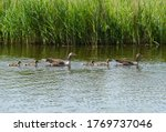 Pair Of Greylag Geese With...
