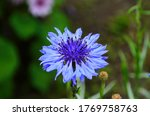 knapweed blue flower in the garden green