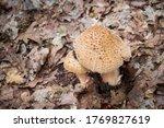 Blusher Mushrooms  Amanita...