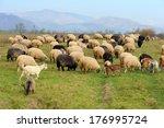 sheep herd in summer meadow | Shutterstock . vector #176995724