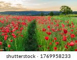Path Through A Field Of Red...