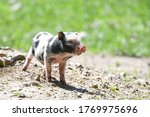 Pot Bellied Pig Enjoying Its...