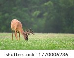 A Large White Tailed Deer Buck...