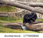 Chimpanzee In Middle Of Playing