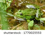 A Small Green Water Frog With...