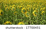 sunflower field | Shutterstock . vector #17700451