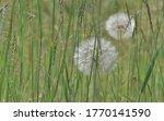 Western Salsify Seed Heads ...