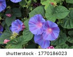 Blue Morning Glories On The...