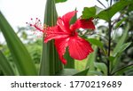 Red Hibiscus Flower And Ants